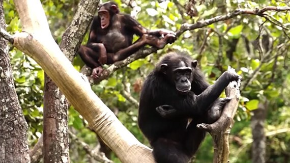 (video) Proteccion de animales in Zambia / Chimpances